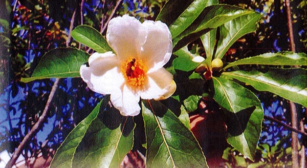 The Franklinia Tree - Laurel Magazine Article - November 2014